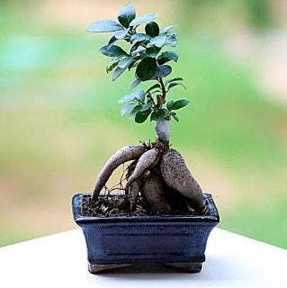 Marvellous Ficus Microcarpa ginseng bonsai  Bayburt çiçek siparişi vermek