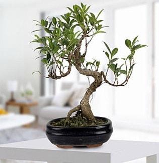 Gorgeous Ficus S shaped japon bonsai  Bayburt yurtiçi ve yurtdışı çiçek siparişi