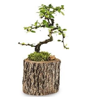 Doğal kütükte S bonsai ağacı  Bayburt çiçek satışı