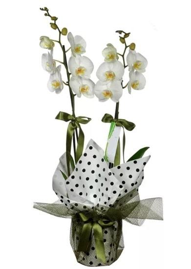 Çift Dallı Beyaz Orkide  Bayburt 14 şubat sevgililer günü çiçek