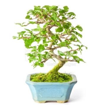 S zerkova bonsai kısa süreliğine  Bayburt İnternetten çiçek siparişi