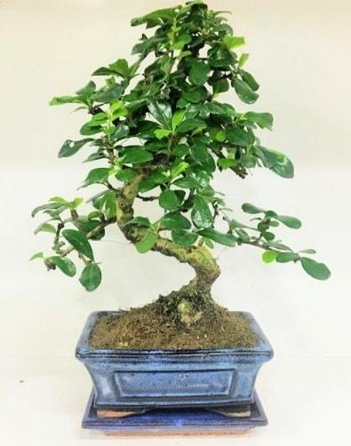 S Bonsai japon ağacı bitkisi  Bayburt uluslararası çiçek gönderme