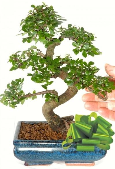 Yaklaşık 25 cm boyutlarında S bonsai  Bayburt çiçek siparişi sitesi