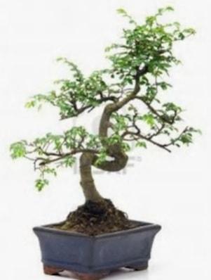 S gövde bonsai minyatür ağaç japon ağacı  Bayburt çiçek satışı