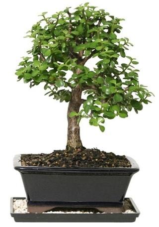 15 cm civarı Zerkova bonsai bitkisi  Bayburt çiçek siparişi sitesi