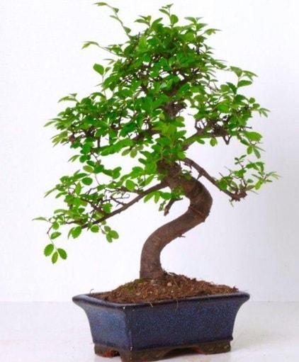 S gövdeli bonsai minyatür ağaç japon ağacı  Bayburt çiçek gönderme sitemiz güvenlidir