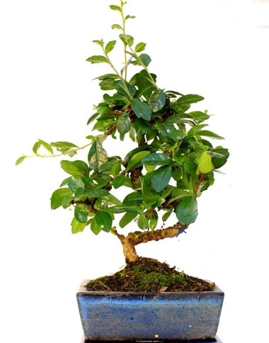 S gövdeli carmina bonsai ağacı  Bayburt çiçek yolla  Minyatür ağaç
