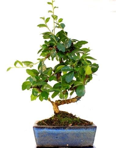 Bonsai Minyatür Ağaç Bonzai S Gövde  Bayburt internetten çiçek satışı