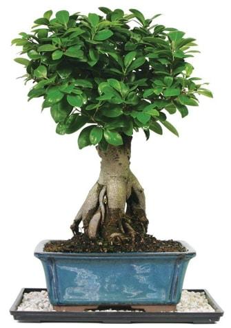 Bonsai Ginsing Grafted Ficus Bonsai  Bayburt çiçek yolla