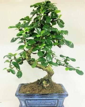 Zelkova S gövdeli Minyatür ağaç Bonzai  Bayburt çiçek gönderme