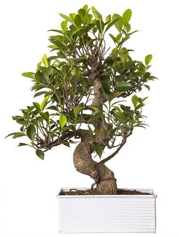 Exotic Green S Gövde 6 Year Ficus Bonsai  Bayburt çiçek gönderme sitemiz güvenlidir