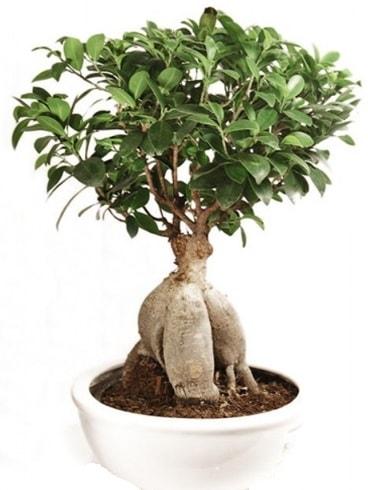 Ginseng bonsai japon ağacı ficus ginseng  Bayburt İnternetten çiçek siparişi