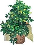 Bayburt internetten çiçek siparişi  Schefflera gold